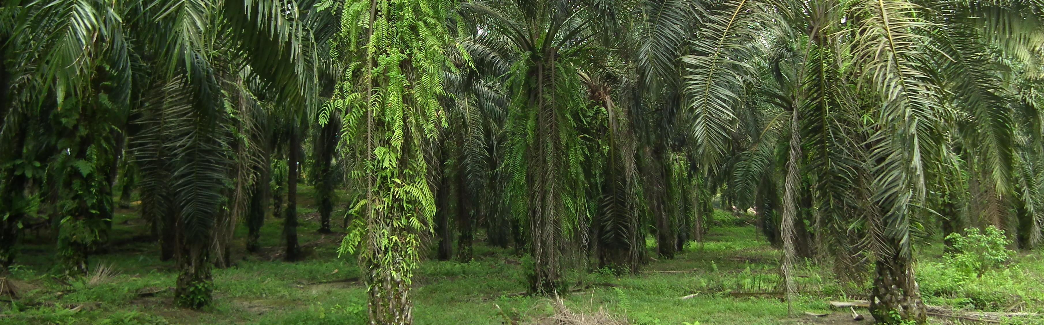 palmolja i mat